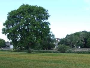 ashtreecrop